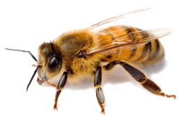 Bees transparent honey. Bee removal services azex