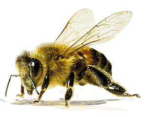 Bees transparent isolated. Bee four stock photo