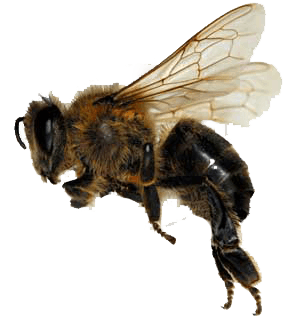 Bees transparent side view. Sideview bee png stickpng