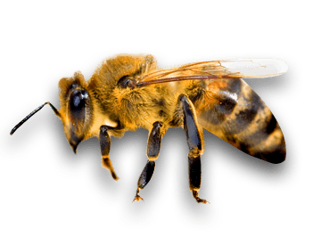 Bees transparent side view. Bee png stickpng