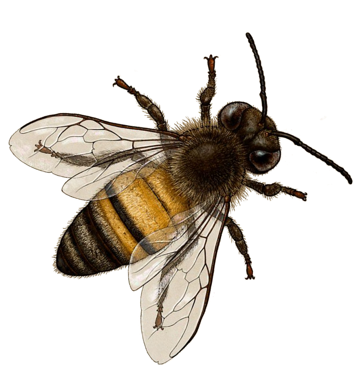 Bees transparent vintage. Honey bee art the