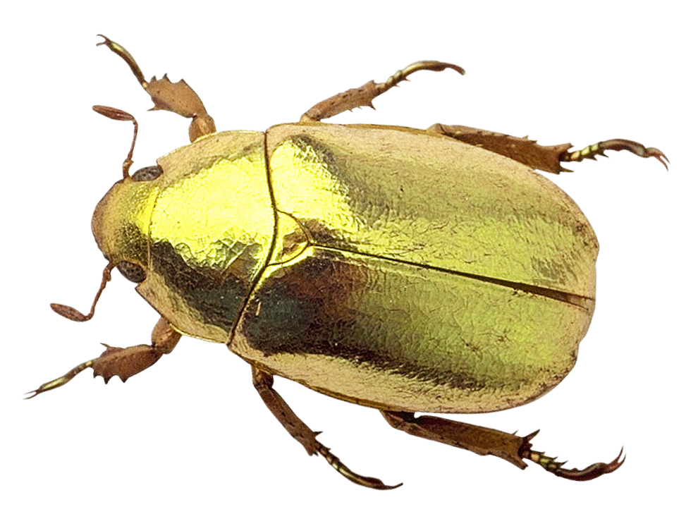 Png image purepng free. Beetle transparent vector free library