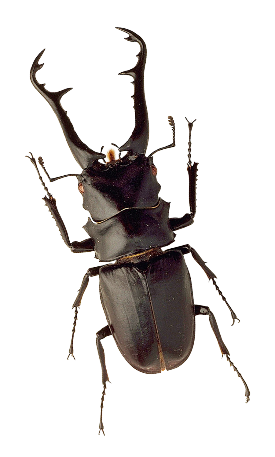 Png images pluspng insect. Beetle transparent clip art free stock