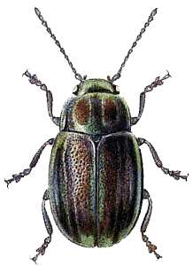 Green brown png stickpng. Beetle transparent clip art library