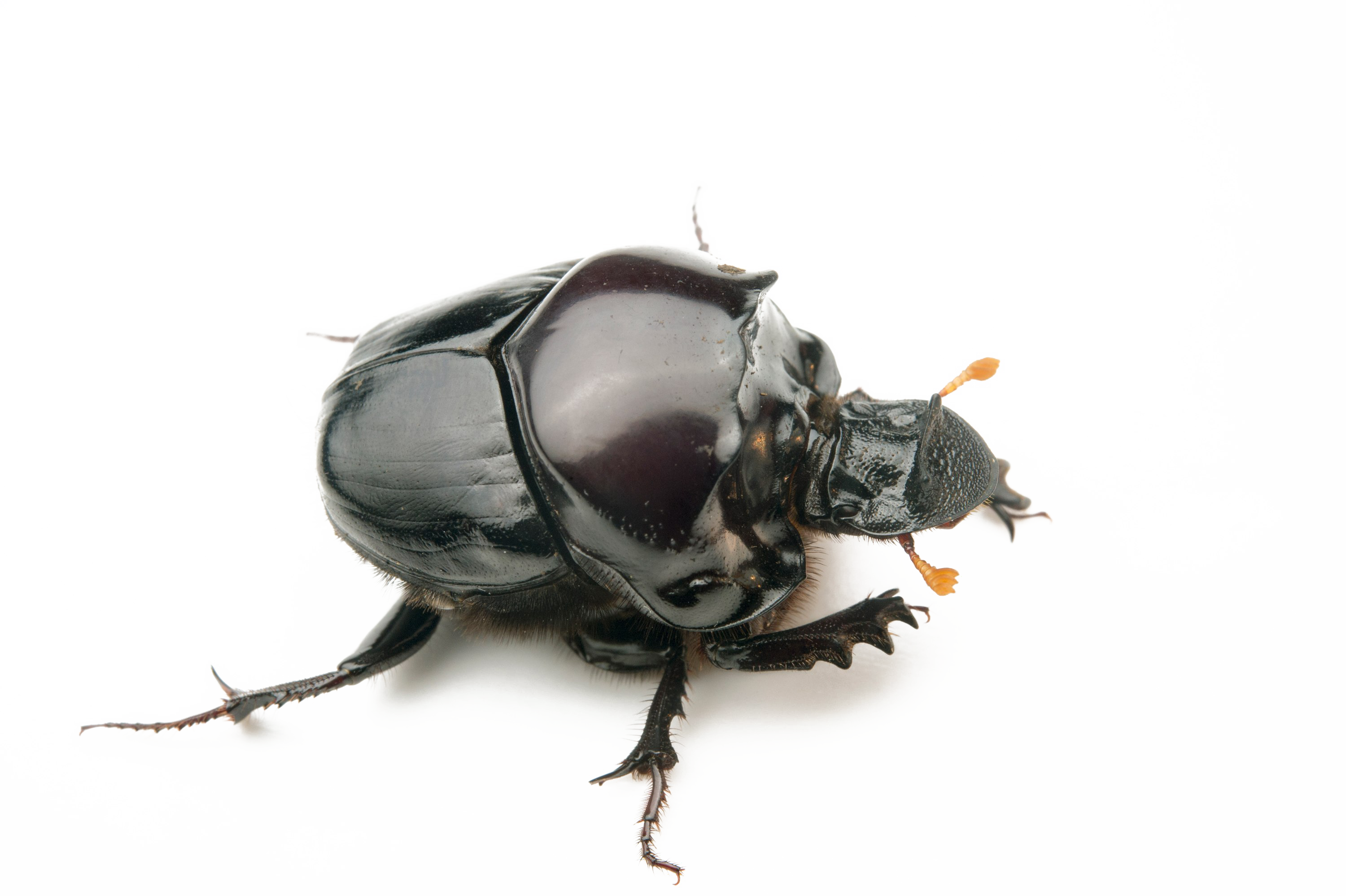 Dung background png mart. Beetle transparent clip art royalty free stock