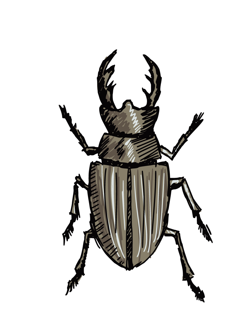 Drawing insects ground beetle. Stag clip art beetles