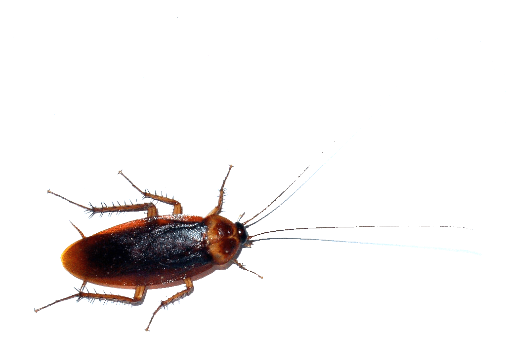 Transparent bugs water. Cockroaches vs waterbugs palmetto