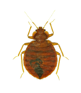 Transparent bugs almost. Pest facts learn about