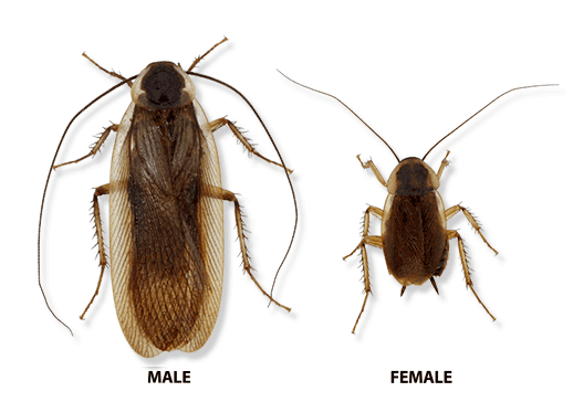 Transparent bugs almost. Types of cockroaches in