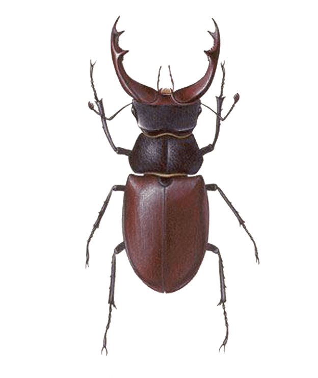 Insects bugs free png. Beetle transparent library