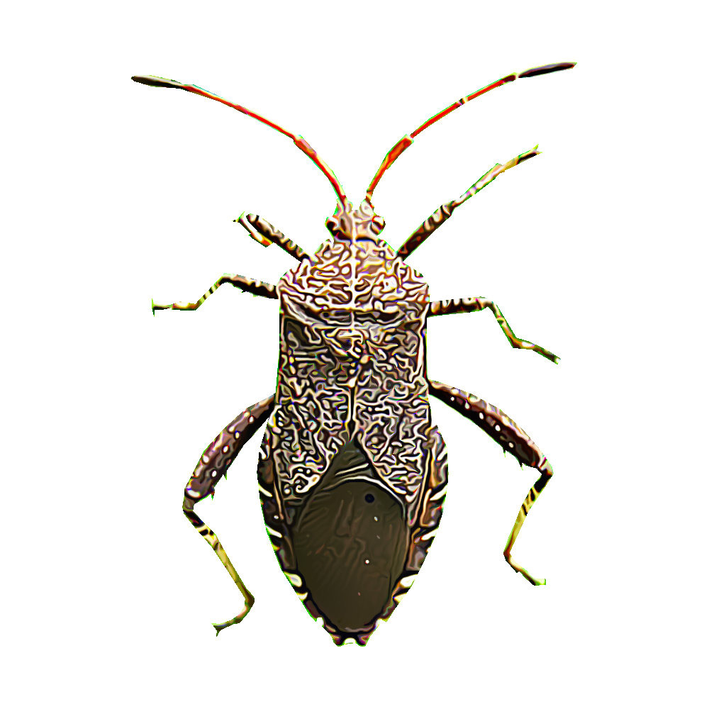 Beetle transparent shiny gold. Identify and control squash