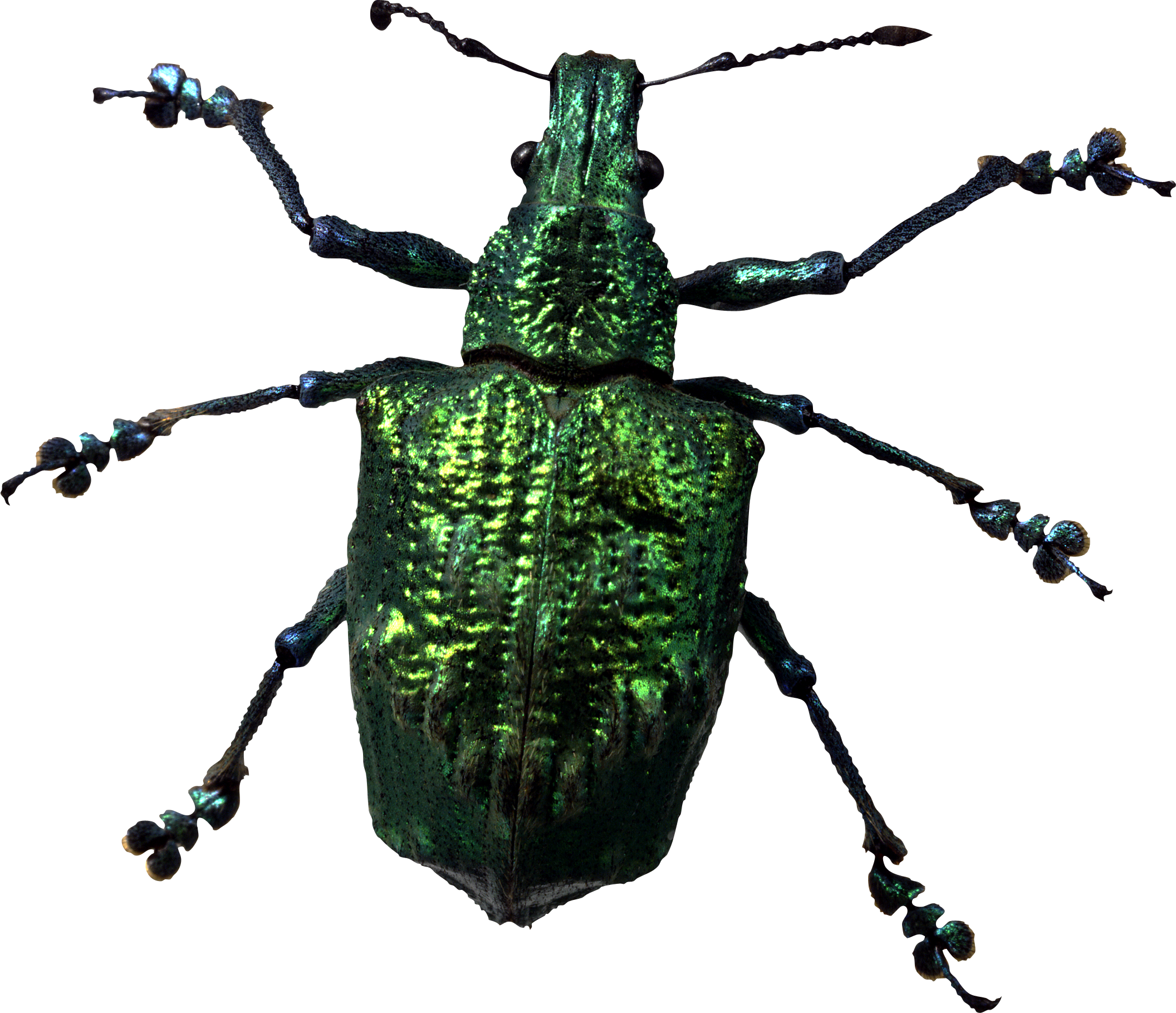Insect png images all. Beetle transparent translucent graphic black and white