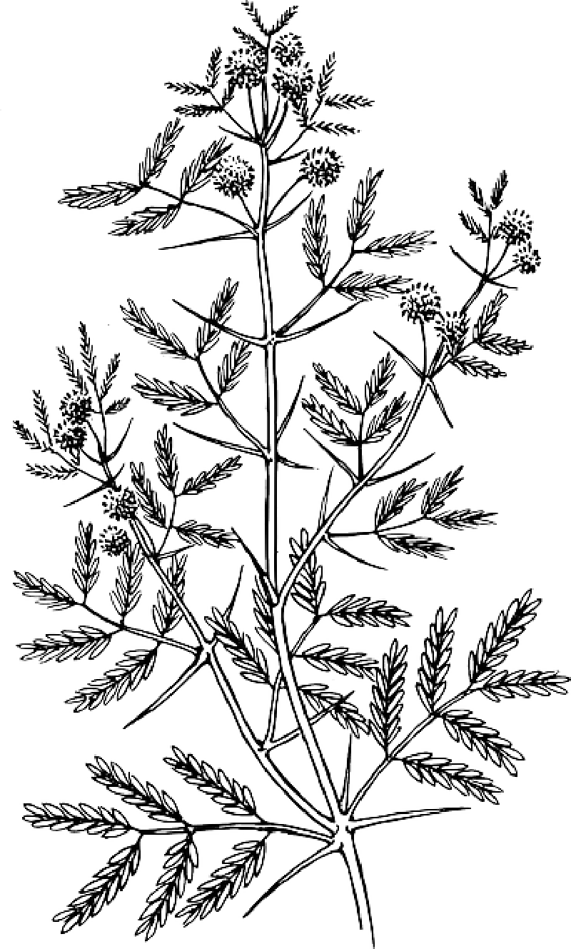 Locust drawing leaf. Maple begonia clipart images