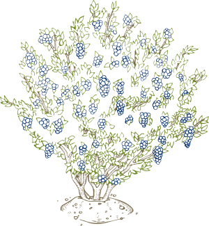 Drawing bushes berry bush. Growing blueberries at home