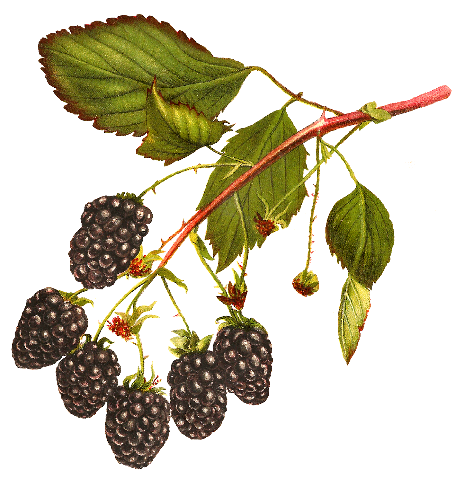 Berry clipart blackberry. Antique images free printable