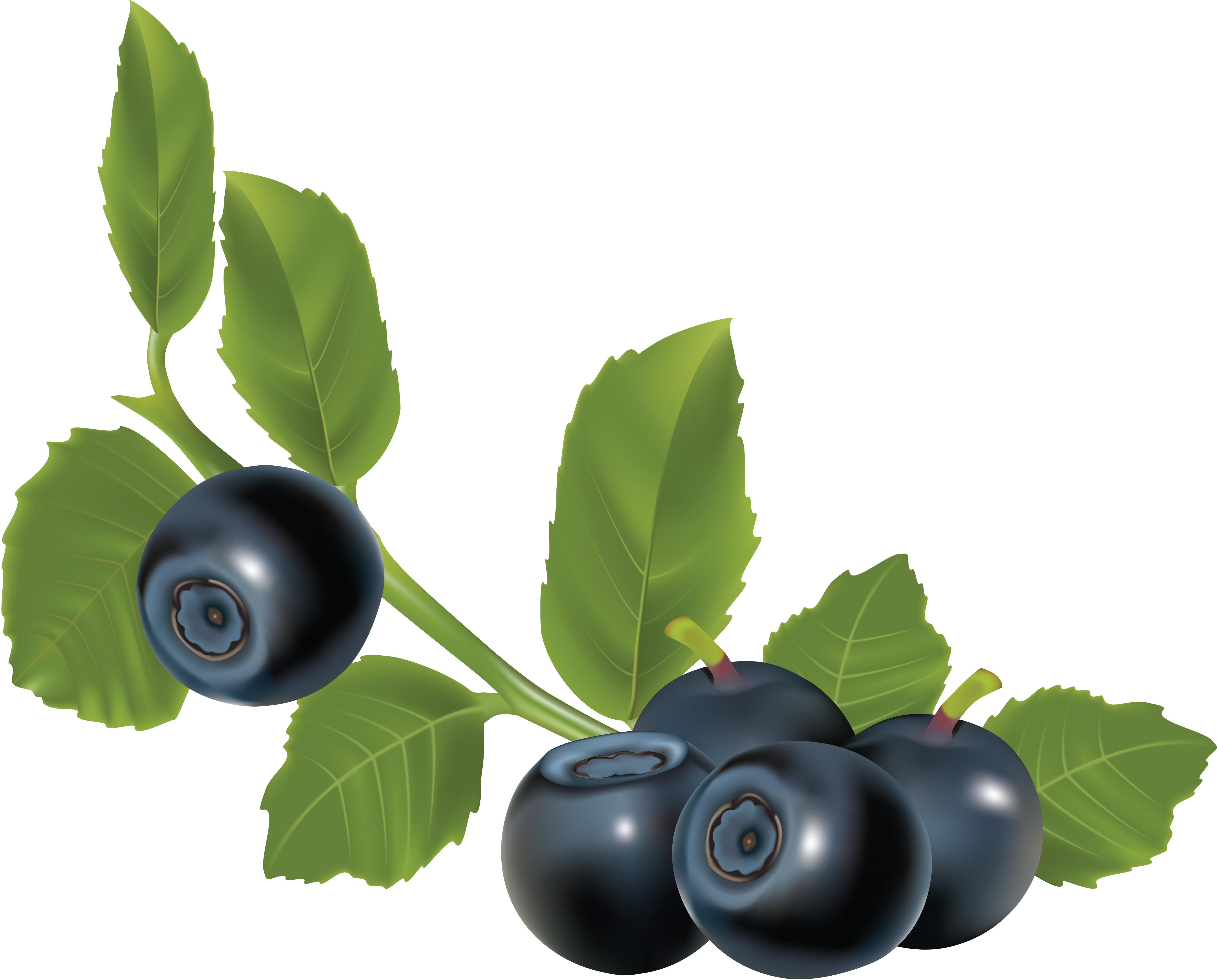 Berry vector branch. Collection of free bilberries