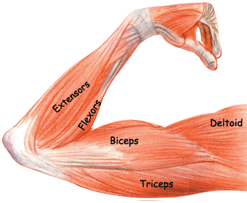 Biceps drawing triceps. All arm muscles pictures