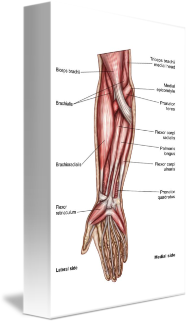 Biceps drawing forearm muscle. Anatomy of human muscles