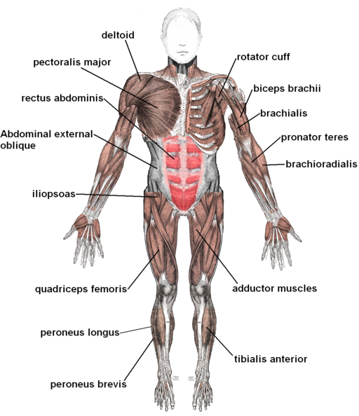 Biceps drawing human muscle. The muscular system medical