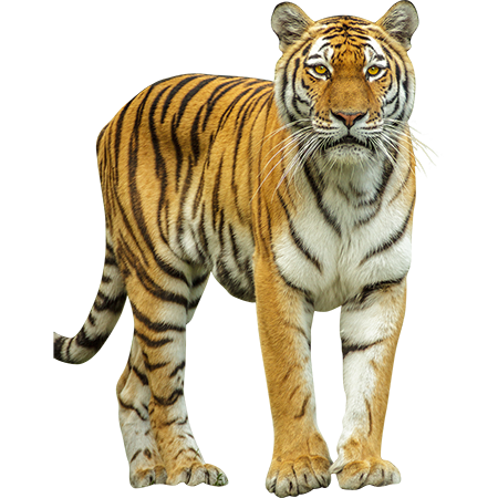 Big cats images in png. This large jungle cat
