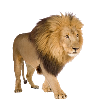 Big cats images in png. Lion four isolated stock