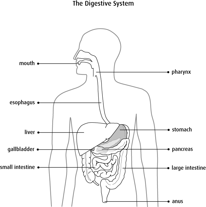 Big clipart intestine. Diagram of large and