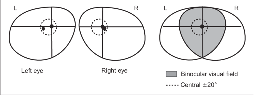 Binocular vision png. The normal visual field
