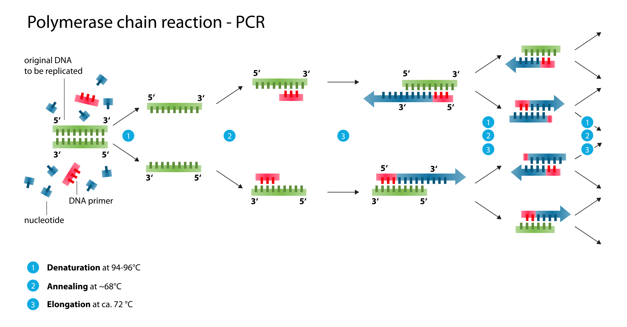 Dna svg rna label. Polymerase chain reaction infographic