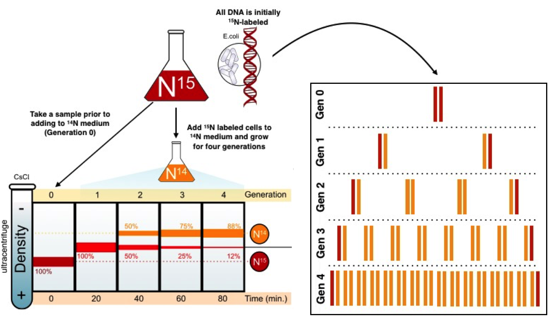 Mode of dna replication. Annotated drawing nitrogen cycle royalty free