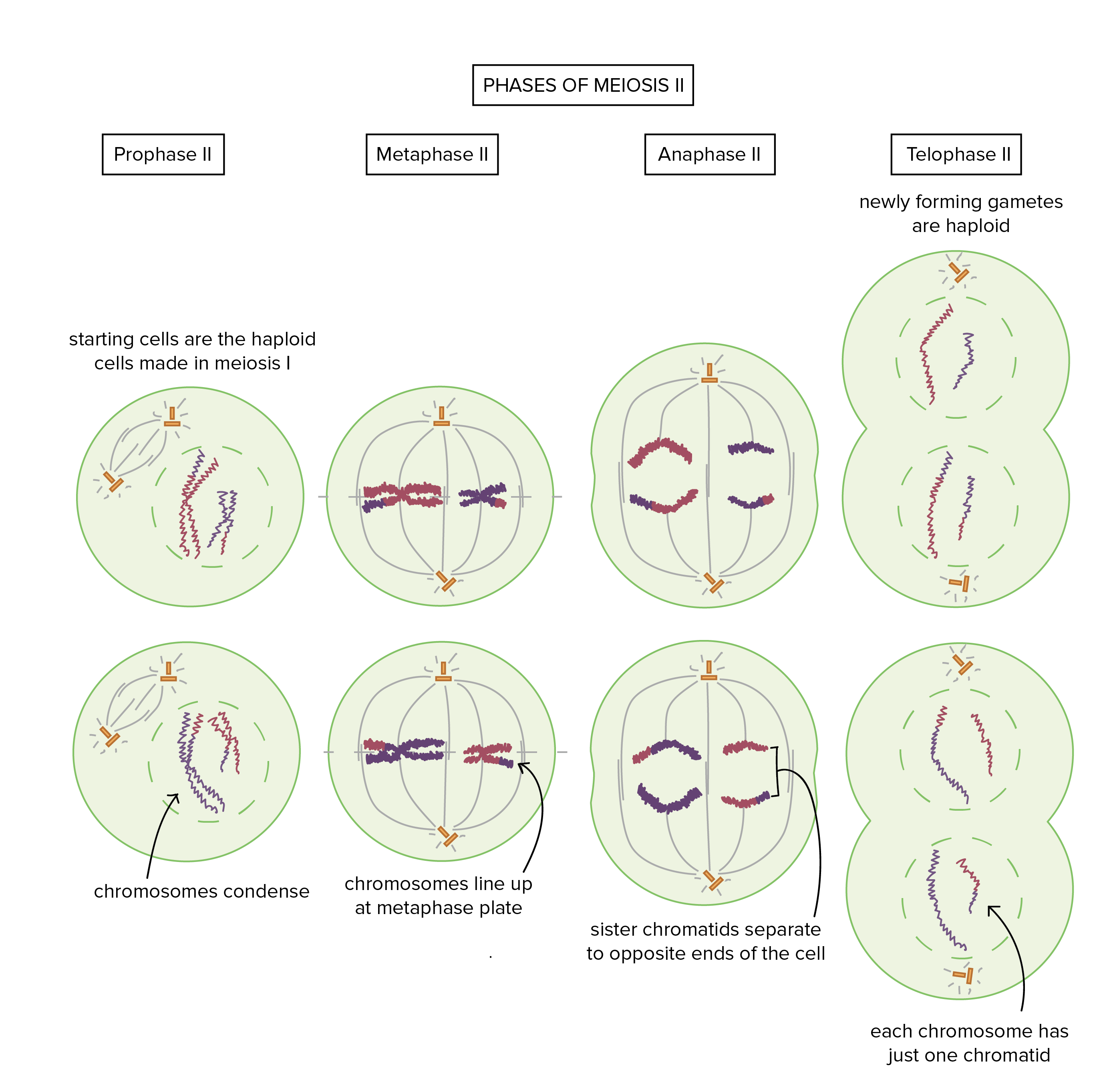 chromatin drawing gamete