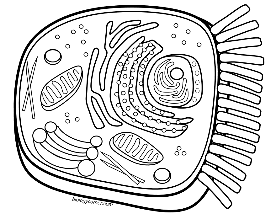 Animal cell coloring page. Drawing science biology banner free