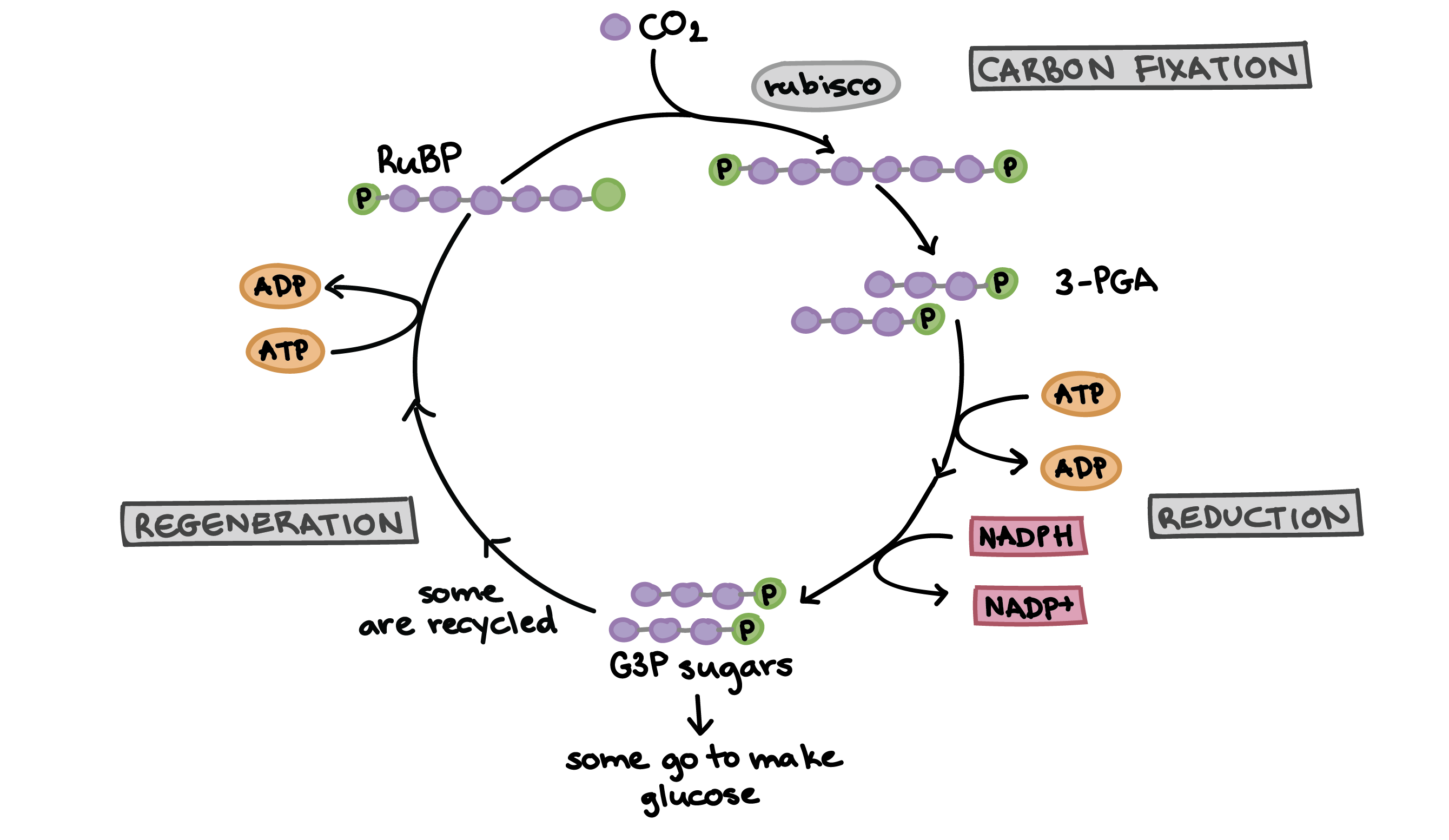 Annotated drawing photosynthesis diagram. The calvin cycle