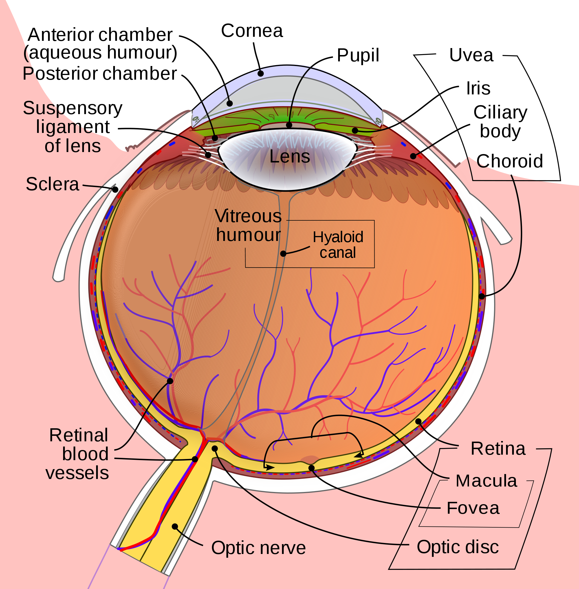 Biology drawing eye. Wikipedia schematic diagram of