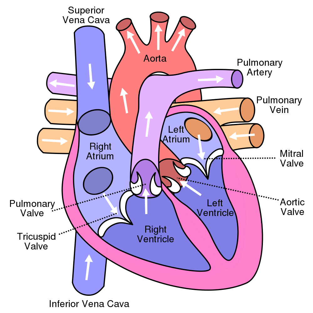 Biology drawing life science. Human heart diagram show