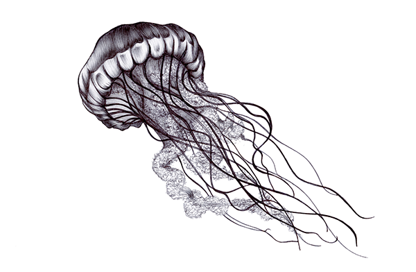 Biology drawing jellyfish. Oceans medusas blackandwhite freetoedit