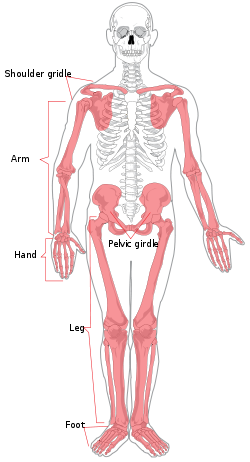 Femur drawing scapula bone. Appendicular skeleton wikipedia diagramsvg
