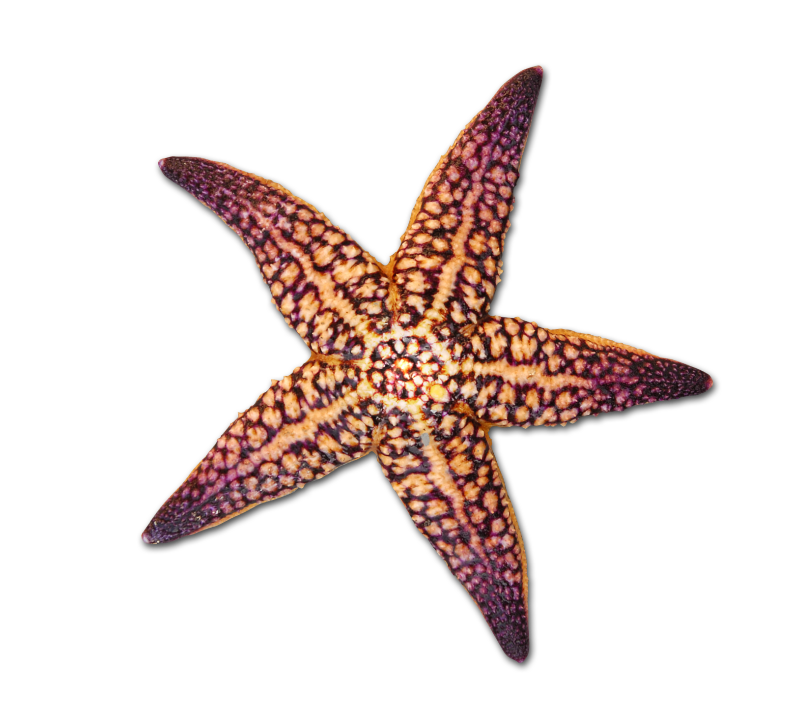 Drawing shells starfish. At getdrawings com free