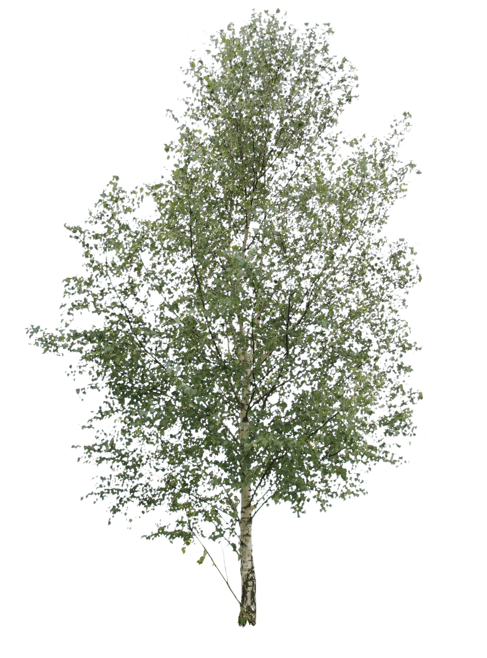 birch tree png