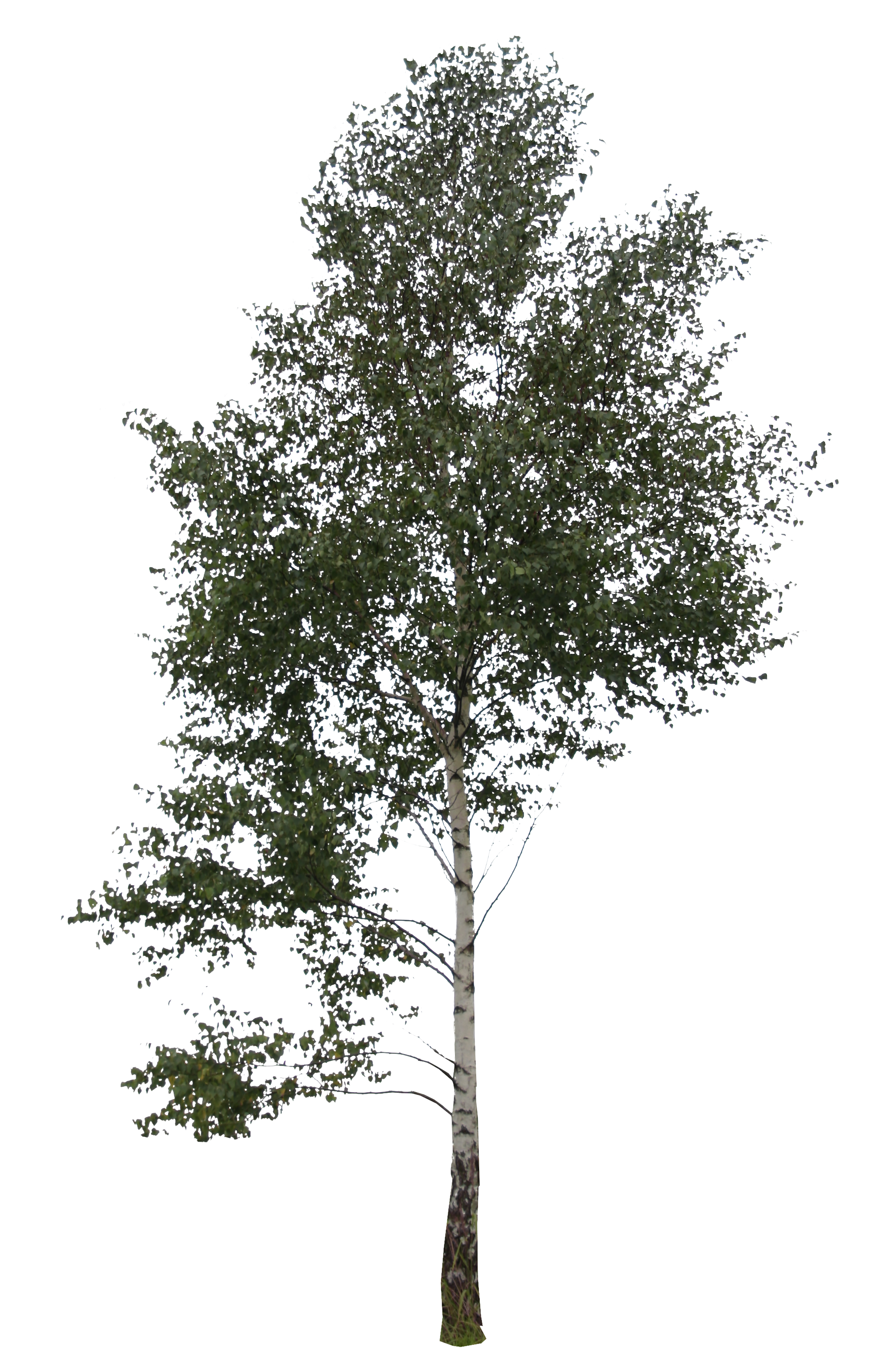Big trees png. Birch free cut out