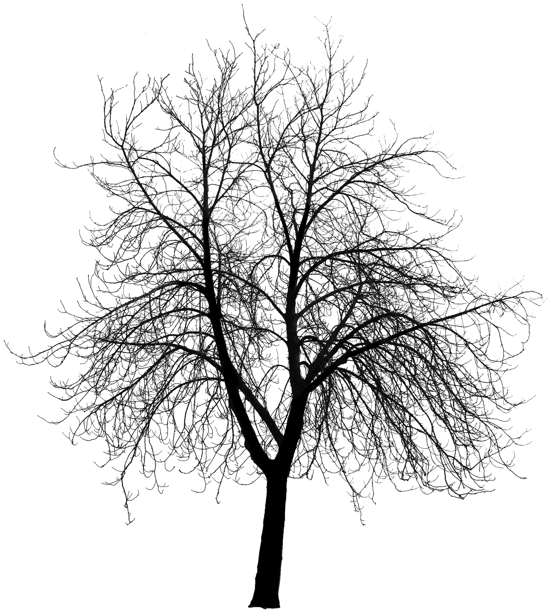 Birch tree in winter silhouette png. Free trees download clip