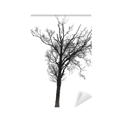 Birch tree in winter silhouette png. Of a single isolated