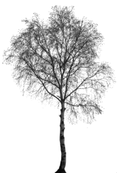 Birch tree png. White transparent treepng images