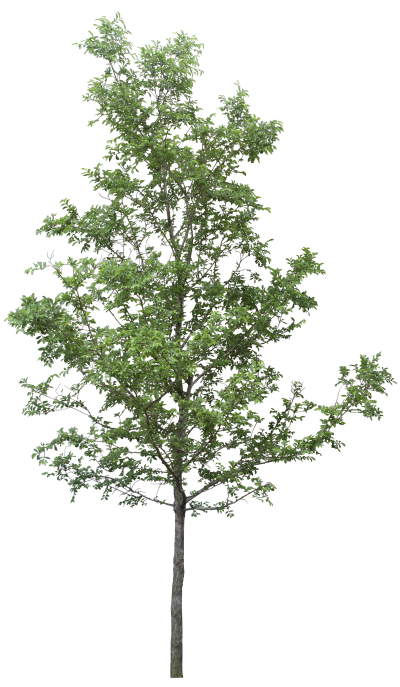 Birch trees png. Download tree free transparent