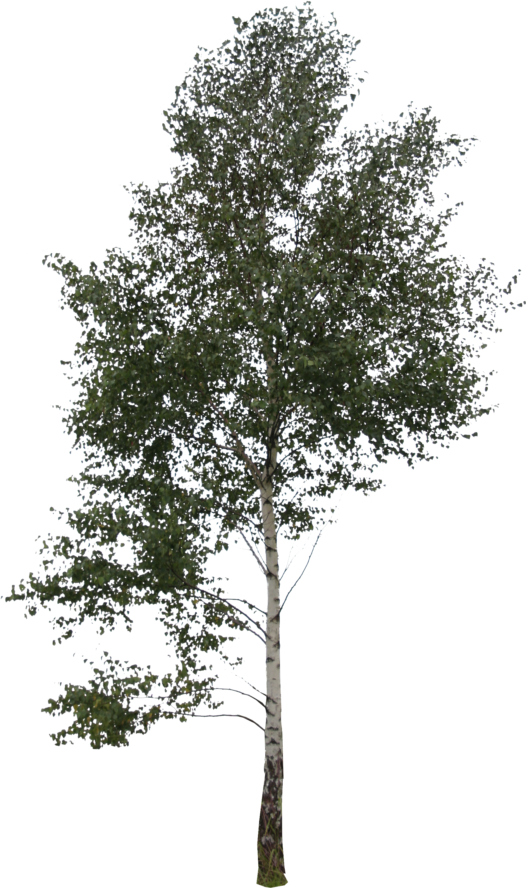Birch trees png. Download hd transparent image