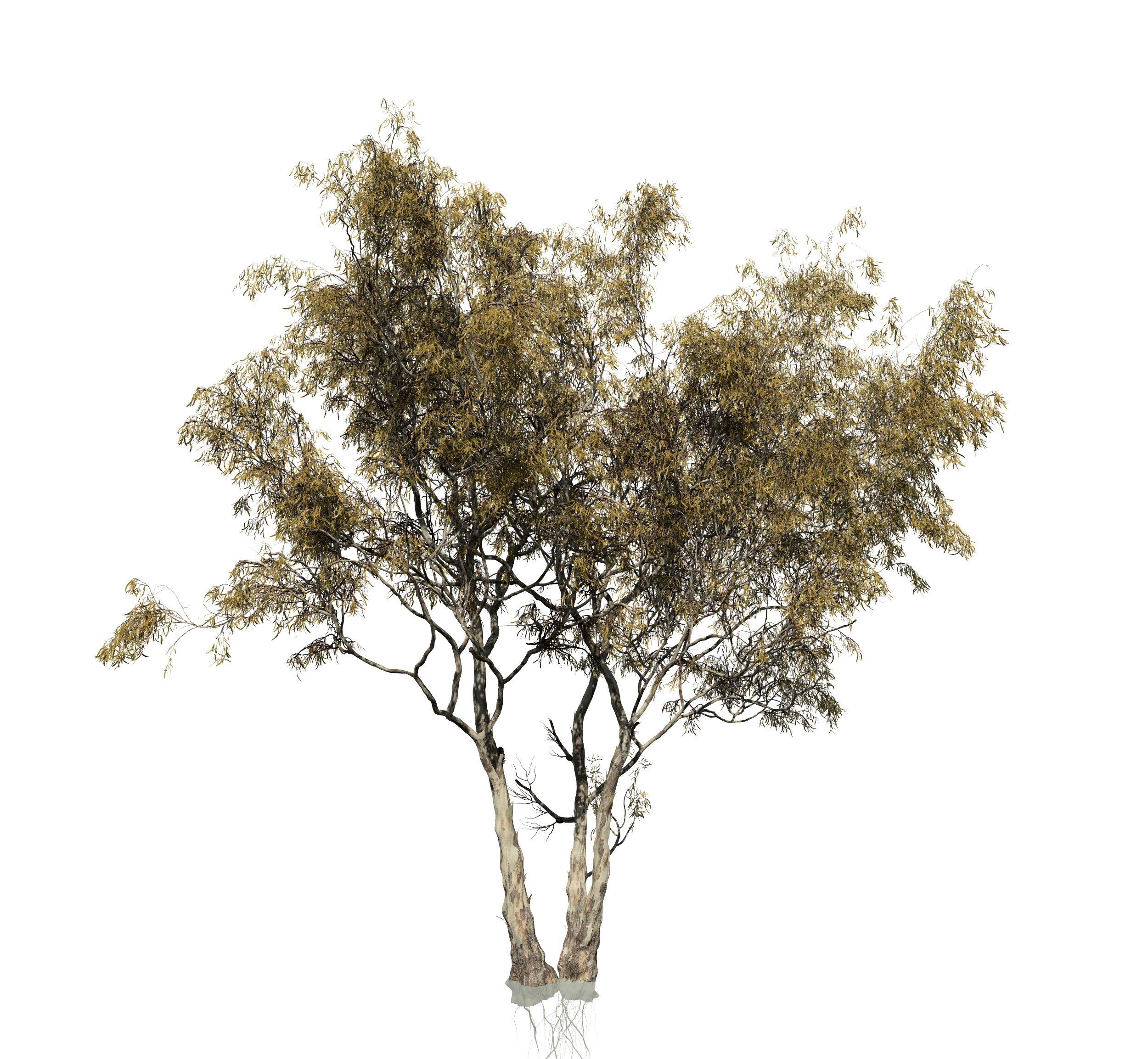 Birch trees png. Red gum eucalyptus forest