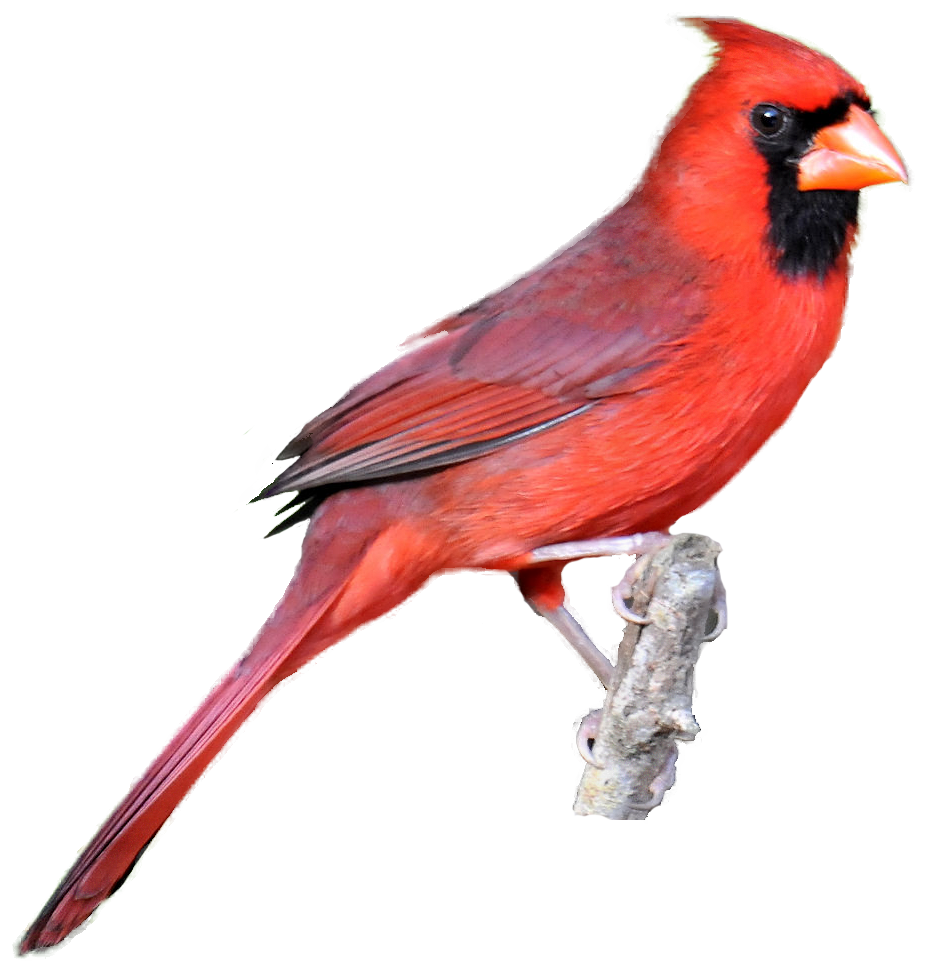 Bird clip art realistic. Free birds cliparts download