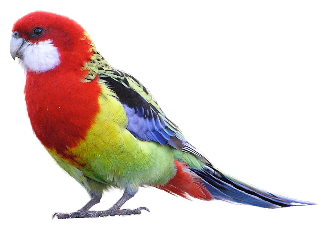 Bird clip art realistic. Masked downloads eastern rosella
