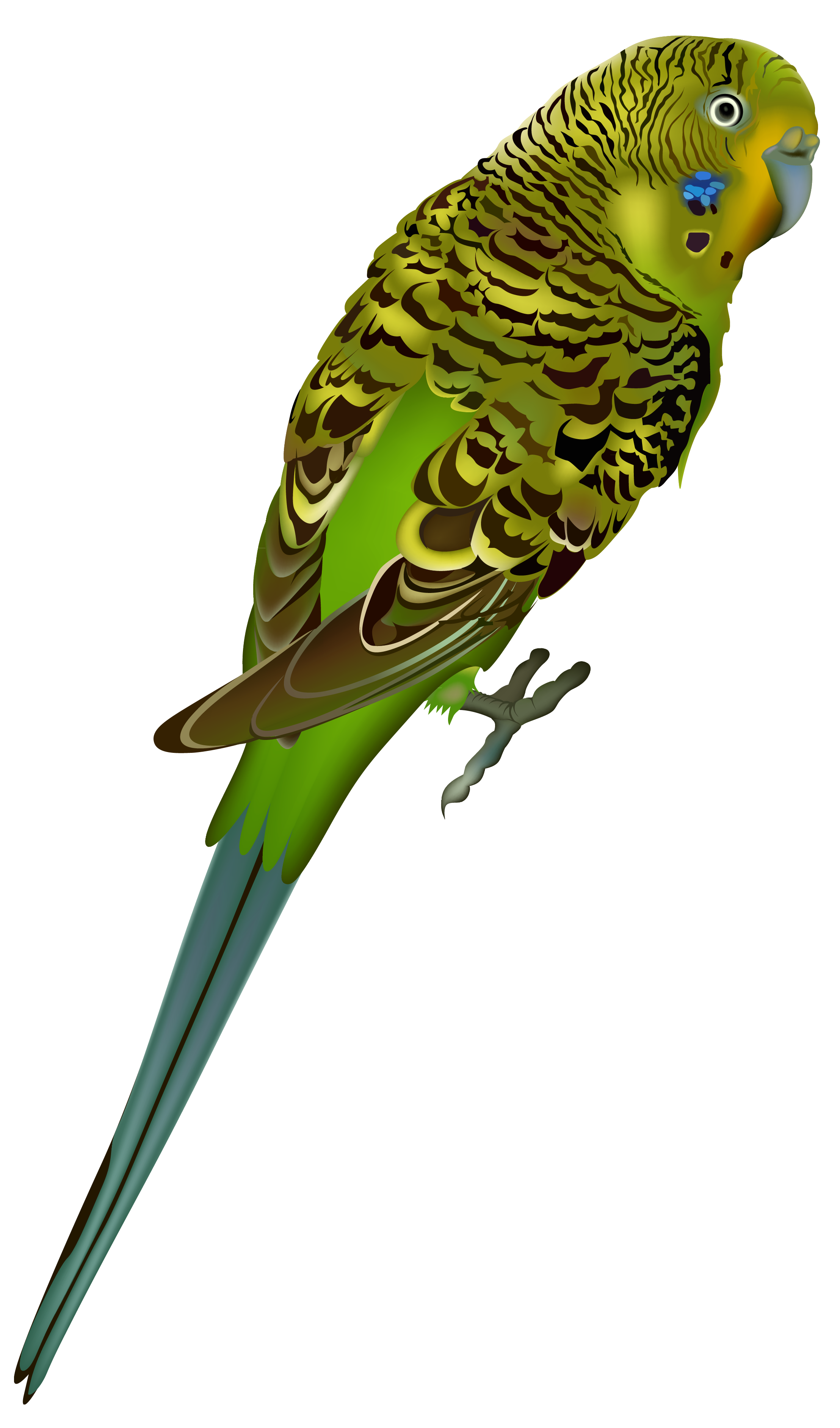 Bird clip art transparent background. Budgie png clipart image