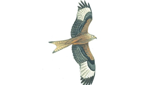 Bird clipart red kite. Pencil and in color