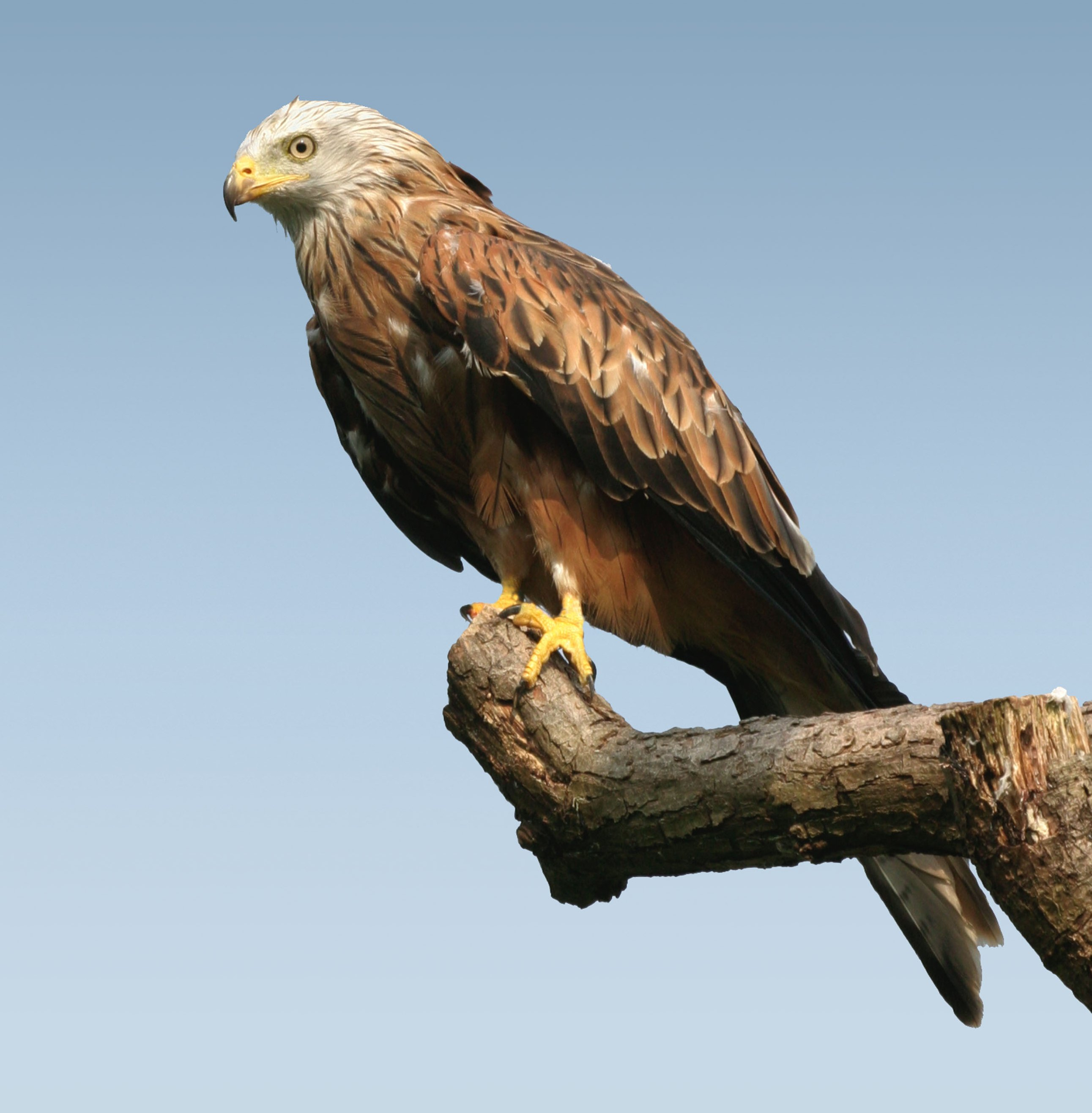 Bird clipart red kite. Happy free of a